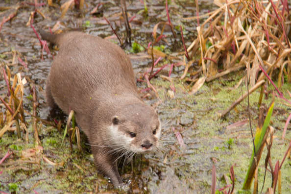 Oriental or Asian small-clawed otter at Marwell Zoo in Hampshire